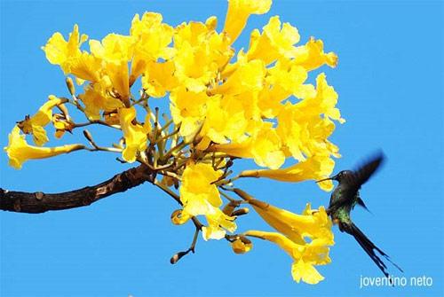 Flor nacional de Brasil
